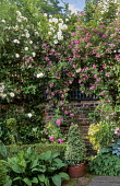 Rosa 'Climbing Iceberg' and Rosa 'Veilchenblau', ivy pyramid in container