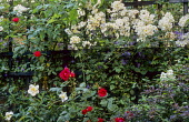 Roses climbing against black painted fence