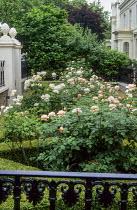 London front garden, box parterre, Rosa 'Macel' Elizabeth of Glamis, wrought iron railings