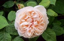 Rosa 'Macel' Elizabeth of Glamis