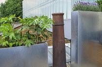 Lavandula angustifolia 'Hidcote' and Fatsia japonica in galvanised zinc containers, chimney pot