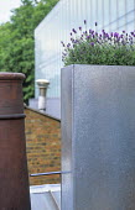 Lavandula angustifolia 'Hidcote' in galvanised zinc container