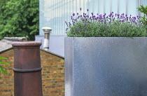 Lavandula angustifolia 'Hidcote' in galvanised zinc container, chimney pot