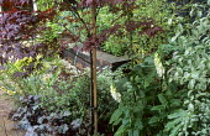 Acer palmatum 'Bloodgood', pittosporum, heuchera, foxglove