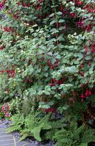 Fuchsia underplanted with ferns