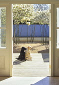 View through door, decking, dogs, gravel, amelanchiers, blue painted wall