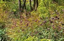 Geranium phaeum var. phaeum 'Samobor', Stipa arundinacea, Euphorbia x martini, Aquilegia vulgaris