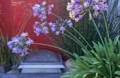 Roof terrace, Agapanthus africanus against red painted wall, skylight