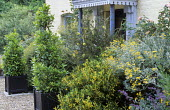 Porch, dry shrub border, clipped bay pyramids in containers, euonymus, brachyglottis and callistemon