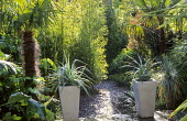 Exotic town garden, slate chippings path, bamboo screen, Trachycarpus fortunei, Astelia chathamica in tall containers