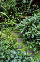 Stepping stone path, Soleirolia soleirolii, ivy, viburnum, stone seat