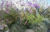 Balcony, galvanized container, Verbena bonariensis, agapanthus, Lavandula stoechas, Festuca glauca, Agave americana