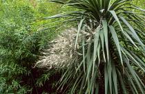 Cordyline in flower, bamboo