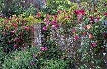 Rosa 'Schoolgirl', 'Léontine Gervais', Rosa 'Zéphirine Drouhin' on brick wall, geraniums