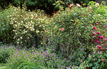 Rosa 'Léontine Gervais', Rosa 'Schoolgirl', Rosa 'Alister Stella Gray', wall, hardy geraniums