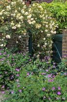 Rosa 'Alister Stella Gray', gate in wall, geraniums