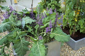 Kohl rabi, tomatoes and nepeta in square metal containers