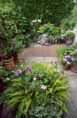 Front garden, containers with ivy, lilies, pelargoniums, ferns