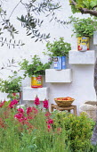 Pelargoniums in recycled tin cans on stepped shelves on mediterranean courtyard wall, antirrhinum