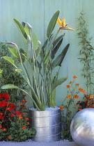 Strelitzia reginae in duct pipe container