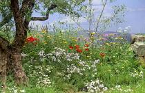 Olive tree, poppies, wildflowers, trompe-l'oeil mural