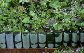 Frosted green bottle edging, alliums, viola