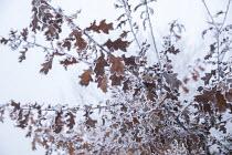 Oak leaves in hoarfrost
