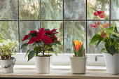 Helleborus niger, poinsettia and anthurium in containers on windowsill