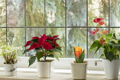 Helleborus niger, poinsettia, Tulipa 'Flair' and anthurium in containers on windowsill
