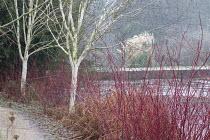 Winter garden, Cornus alba 'Sibirica', Betula uitilis var jacquemontii