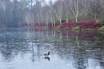 View across frozen lake to winter garden, Cornus alba 'Sibirica', Betula uitilis var jacquemontii, mallard