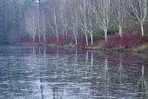 View across frozen lake to winter garden, Cornus alba 'Sibirica', Betula uitilis var jacquemontii