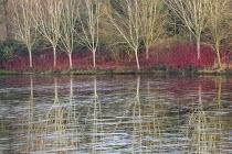 View across frozen lake to winter garden, Cornus alba 'Sibirica', Betula uitilis var jacquemontii, reflections