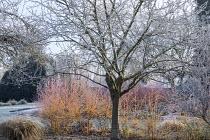 Prunus domestica 'Stanley', Cornus sanguinea 'Midwinter Fire'