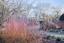 Frost on stems of Cornus sanguinea 'Midwinter Fire'