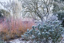 Cornus sanguinea 'Midwinter Fire' in winter garden, Cortaderia selloana, Euphorbia characias subsp. wulfenii, Magnolia x soulangeana