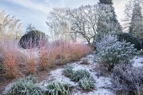 Cornus sanguinea 'Midwinter Fire' in winter garden, Euphorbia characias subsp. wulfenii, Cortaderia selloana, Magnolia x soulangeana