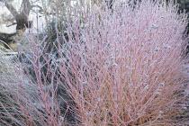 Cornus sanguinea 'Midwinter Fire' in winter garden