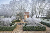 Perovskia stems in clipped box parterre, olive tree
