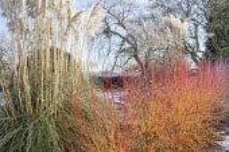 Cornus sanguinea 'Midwinter Fire' in winter garden, Cortaderia selloana