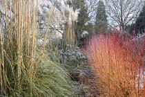 Cornus sanguinea 'Midwinter Fire' in winter garden, Cortaderia selloana, Euphorbia characias subsp. wulfenii