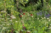 Wildflower meadow, Leucanthemum vulgare