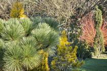 Pinus montezumae 'Sheffield Park', Pinus nigra 'Komet'