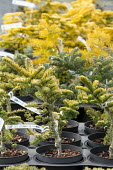 Abies procera 'Sherwoodii' in nursery pots