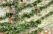Cordon trained pear against wall