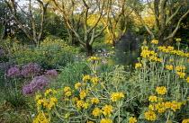 Phlomis fruticosa, Allium cristophii, irises in mediterranean garden
