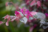 Loropetalum chinense