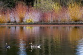 Greylag geese on lake, view to colourful winter stems