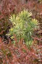 Pinus sylvestris 'Vargguld', Calluna vulgaris 'Wickwar Flame'
