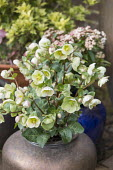 Hellebore in urn container
